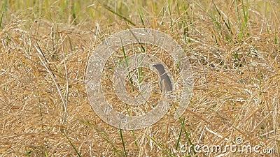Bruine vogel in padie stock footage