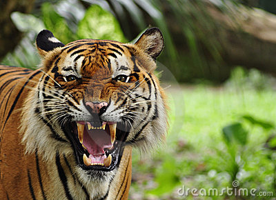 Brullende tijger
