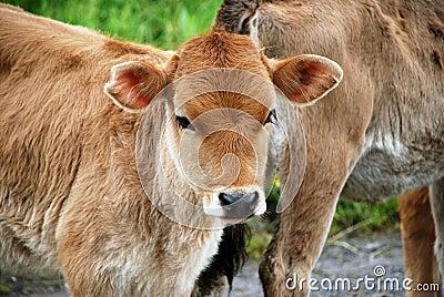 Brun kalv som ser stirrandebarn
