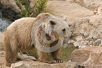 Brun syrian för björn