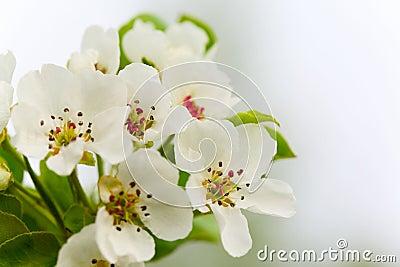 Brunch of apple tree