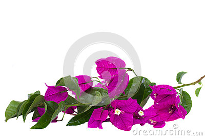 Brunch of bougainvillea flowers