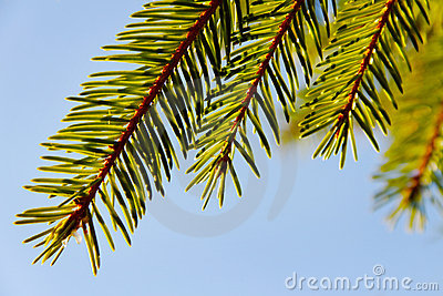 Brunch del árbol de abeto.