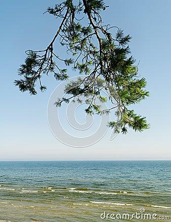 Brunch der Kiefer und des Meeres.
