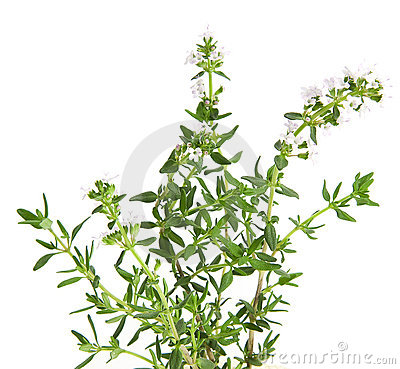 Brunch of fresh blooming thyme, isolated