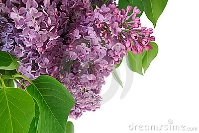 Brunch of lilac