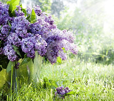 Brunch of lilacs in bucket