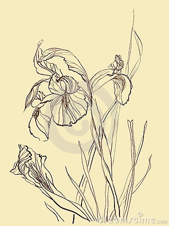 Brush drawing iris flower