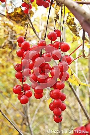 Brushes of ripe berries Schisandra chinensis