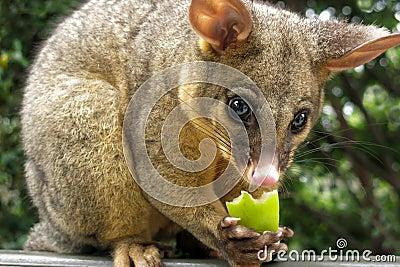 Brushtail Possum Eating Apple Stock Image | CartoonDealer