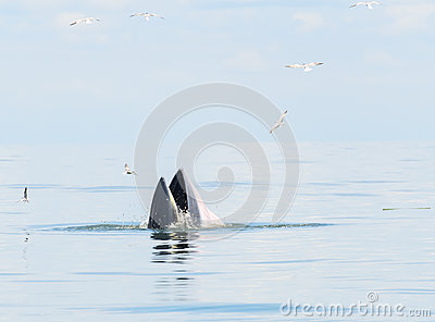 Bryde s whale