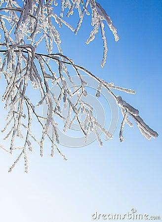 Brzozy gałąź zakrywający mrozowy śnieg