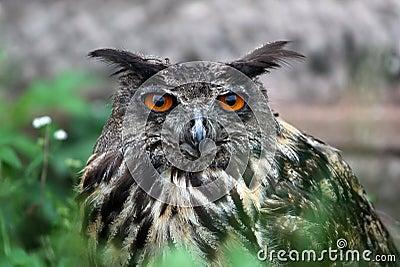 Bubo bubo owl