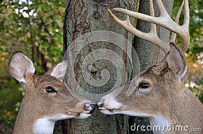 Buck and Doe in woods
