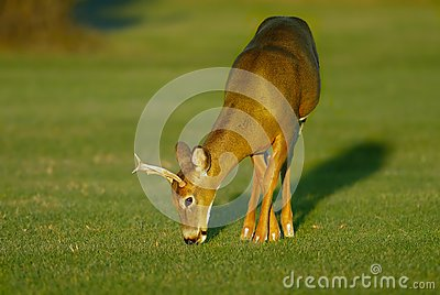 Buck feeding  on grass