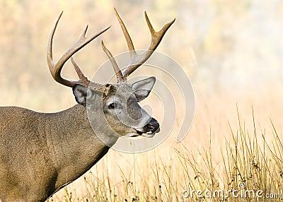 Buck Whitetail Deer