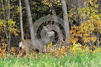 Buck at woods edge