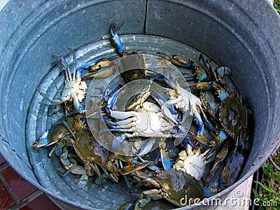 Bucket of Blue Crabs Stock Photo