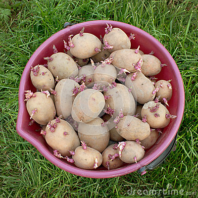 A bucket full of seed potatoes