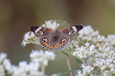 Buckeye Butterfly on Boneset blossoms