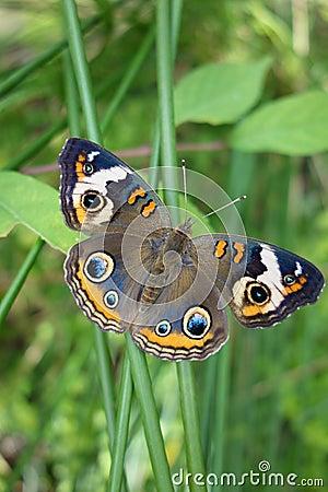 Free Buckeye Butterfly On Green Stalk, Wings Spread Out Stock Image - 34756961
