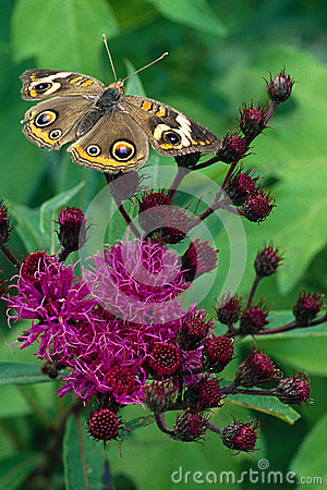 Free Buckeye Butterfly On Ironweed Flower Royalty Free Stock Photos - 27933688