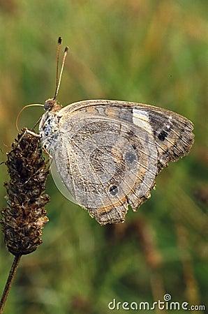 Buckeye Butterfly on Weed