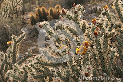 Buckhorn Cholla acanthocarpa cactus jumping desert