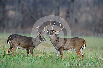 Bucks in field