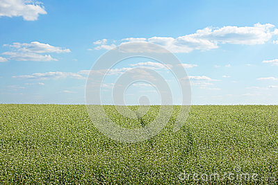Buckwheat flowers in a field
