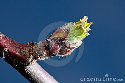 A Bud of an Apple in early Spring