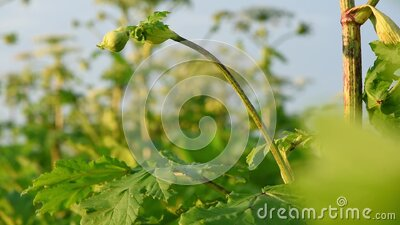 Bud and leaf of a poisonous plant Giant Hogweed on the eve of flowering stock video