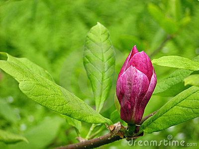 Bud  of magnolia