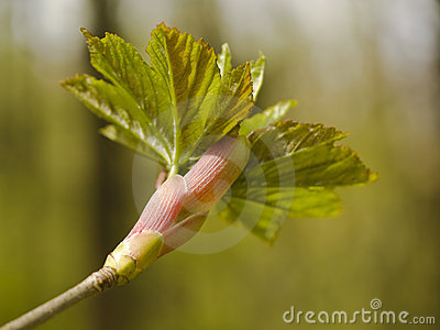 Bud of maple leaf