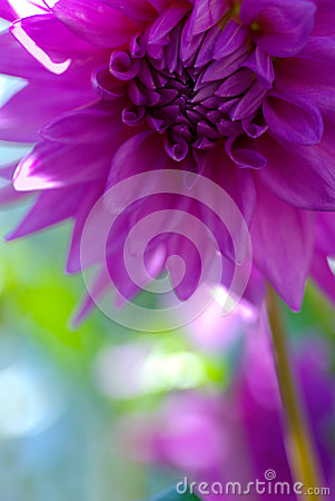 Bud purple dahlias