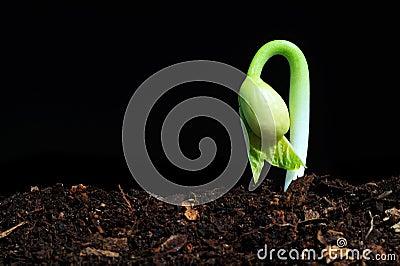 Bud seedling
