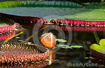 Bud on the water- Victoria amazonica