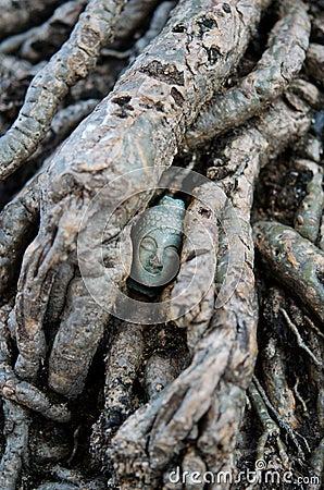 Buddha s Head hidden in the Root