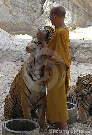 Buddhist monk with bengal tiger,thailand,asia,cat Editorial Image