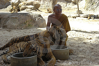 Buddhist monk with bengal tiger,thailand,asia,cat Editorial Photo