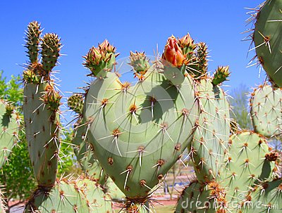 USA, Arizona: Prickly Pear Cactus: A Budding Heart