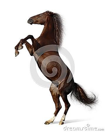 Budenny mare rears