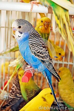 Free Budgerigar Royalty Free Stock Photos - 15823808