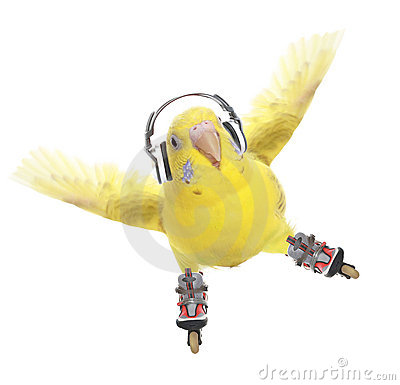 Budgerigar roller skater in headphones