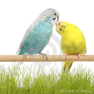 Budgerigars kiss