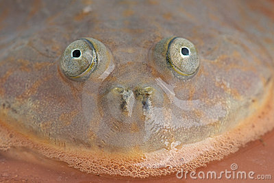 Budgett s frog