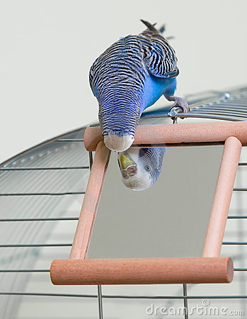 Free Budgie And A Mirror Royalty Free Stock Photo - 23318995