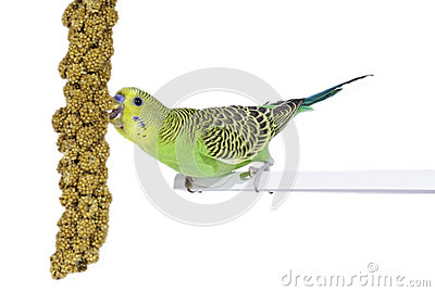Budgie and his food