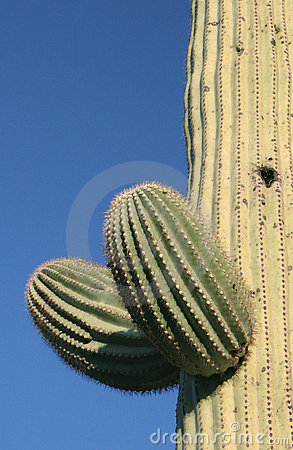 Buds on Saguaro cactus