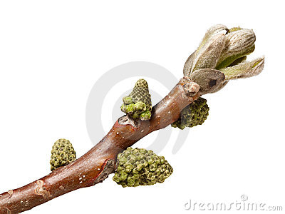 Buds on walnut brunch